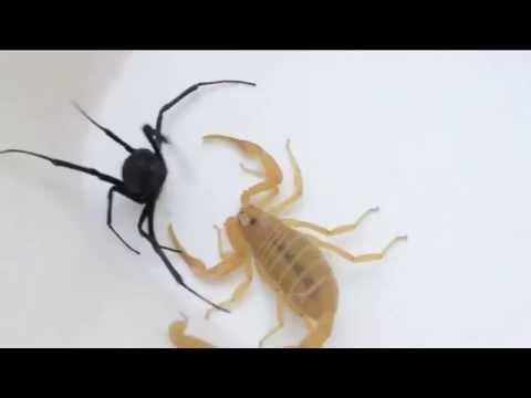 Пауки в банке. Видео. Скорпион против Чёрной Вдовы